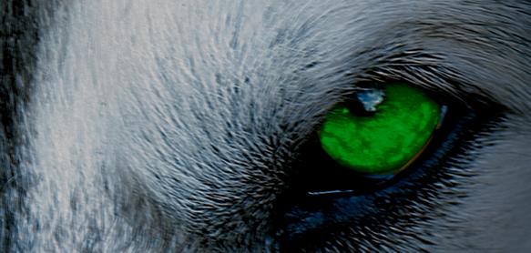 Lobo Auge